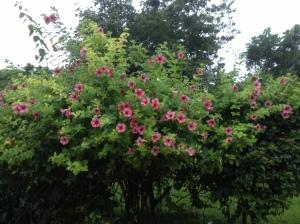 Trumpet Vine Blooming