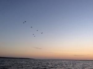 Migrating cranes.