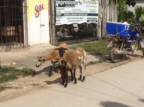 A car chase in Bacalar would require avoiding hitting the goats.