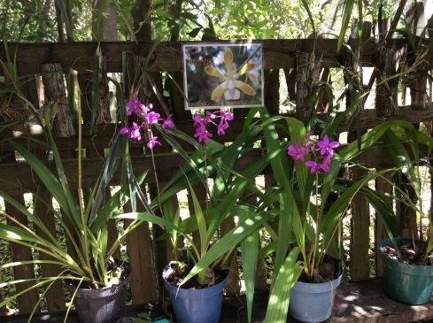 Many types of orchids grow on our property in Bacalar.