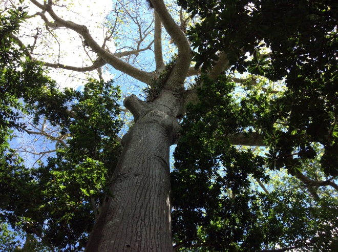 The Mayans believe that these trees are holy and are compensated by the government to protect them.