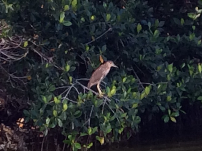 A green heron. Santiago had great eyes and slowed to make sur we didn't miss anything.